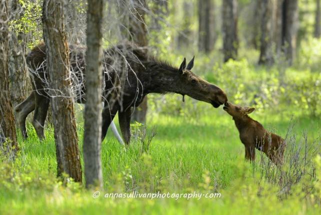 WY Moose_1560
