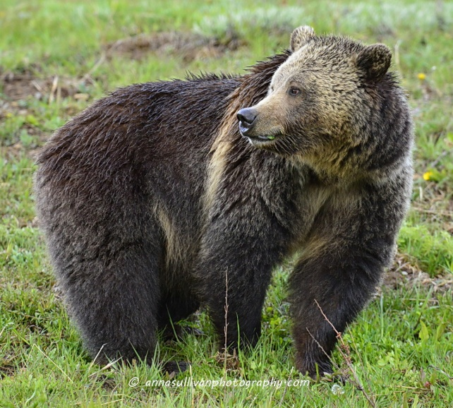 WY Yellowstone Grizz_7948