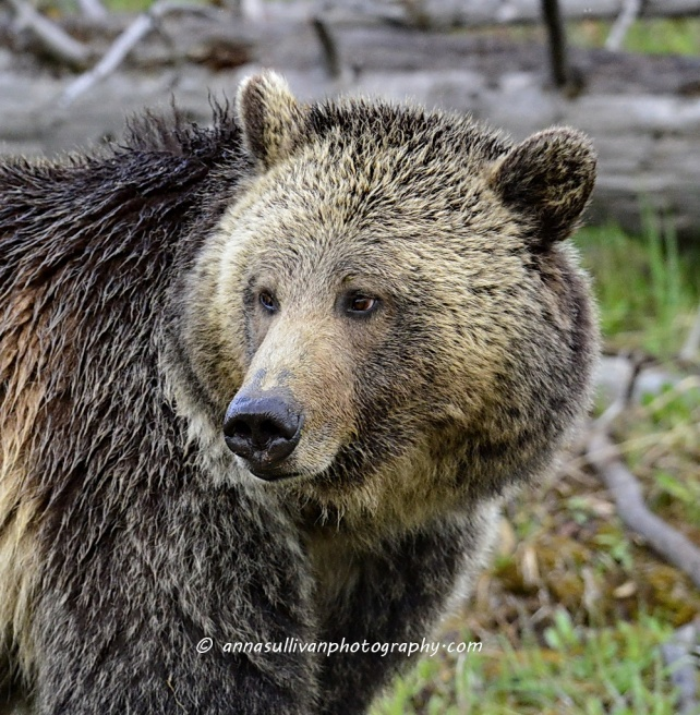 WY Yellowstone Grizz_8022
