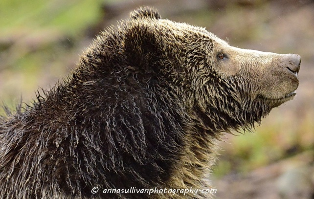 WY Yellowstone Grizzly_8789