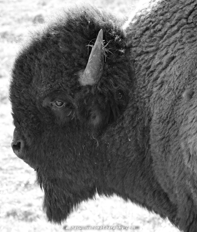 WY Yellowstone Bison_8806